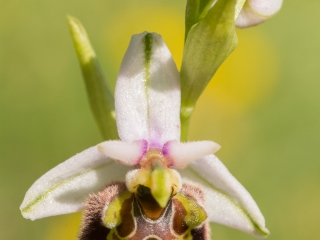 Late spider orchid (Ophrys holoserica)